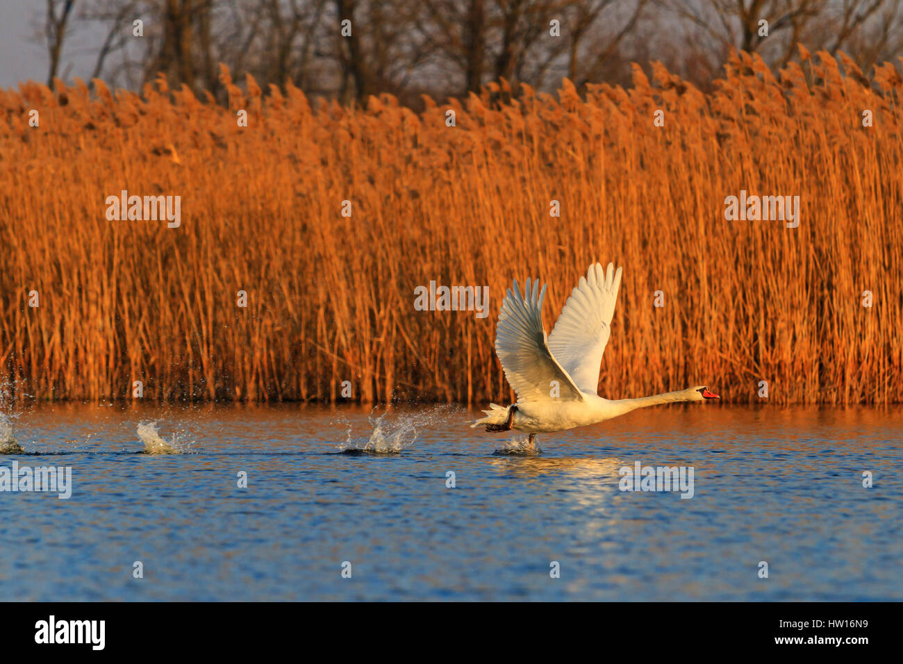 White Swan Flying On A Blue Lakebeautiful Birds White Birds Love