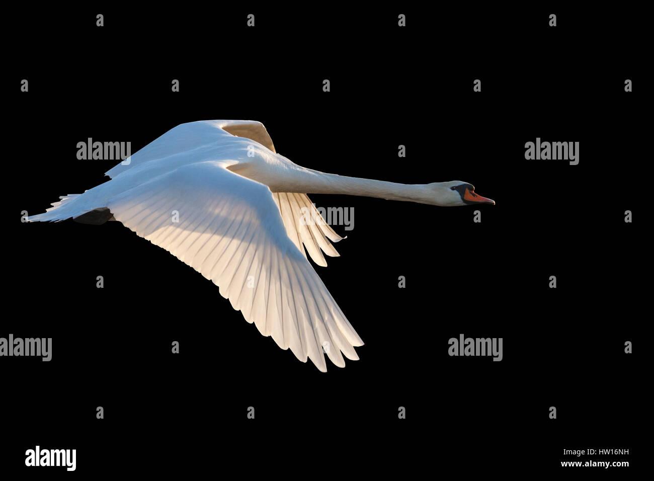 White Swan Flying On Black Backgroundbeautiful Birds White Birds