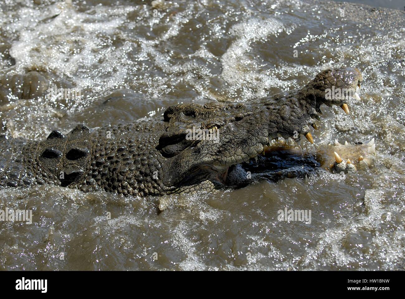 Crocodile, Krokodil Stock Photo