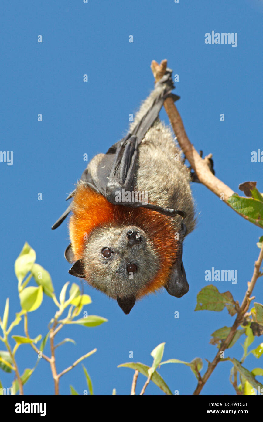 Grey Headed Flying Fox, Pteropus poliocephalus, hanging from a branch with a blue sky background. - Stock Image