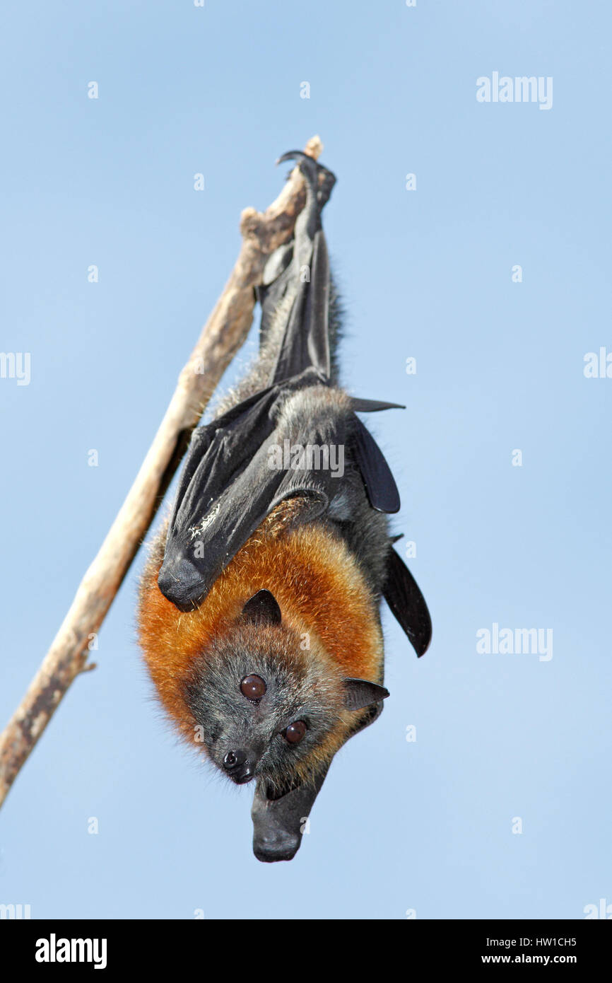 Grey Headed Flying Fox, Pteropus poliocephalus, hanging from a branch with a blue sky background. Bellingen Island, - Stock Image