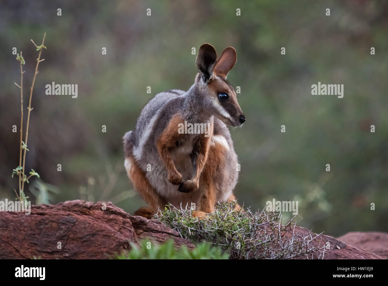 Yellow-footed Rock-wallaby (Petrogale xanthopus) - Stock Image