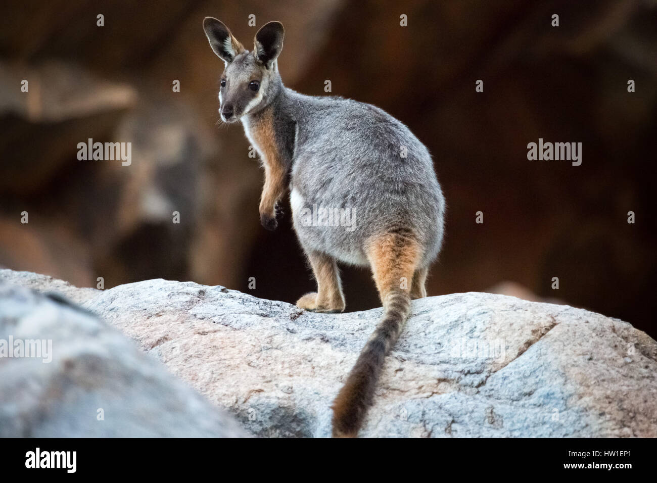 Yellow-footed Rock-wallaby (Petrogale xanthopus) Stock Photo