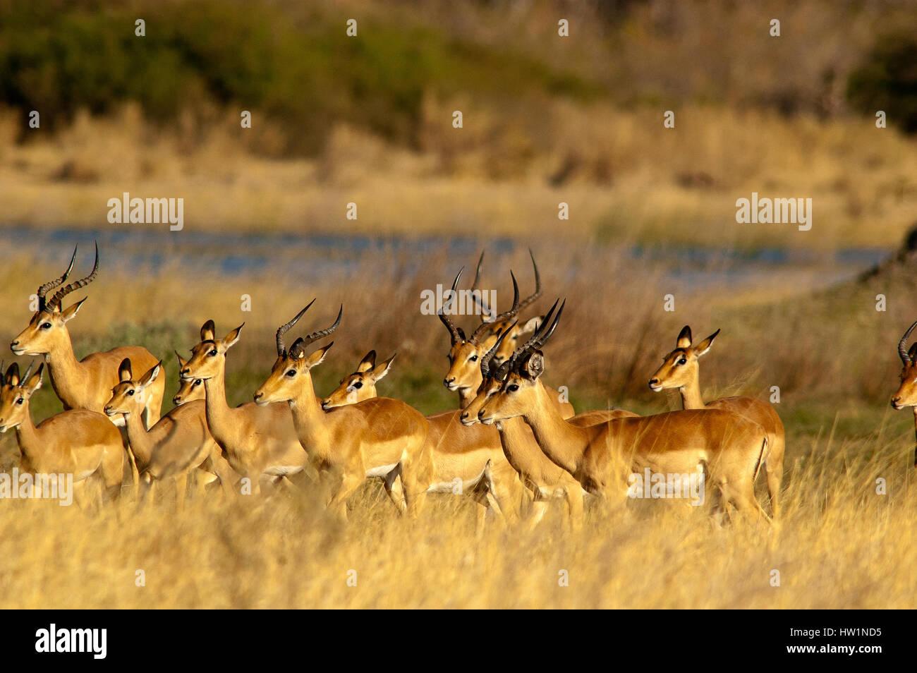 Herd of impalas at Deception Valley, Central Kalahari National Park, Botswana - Stock Image