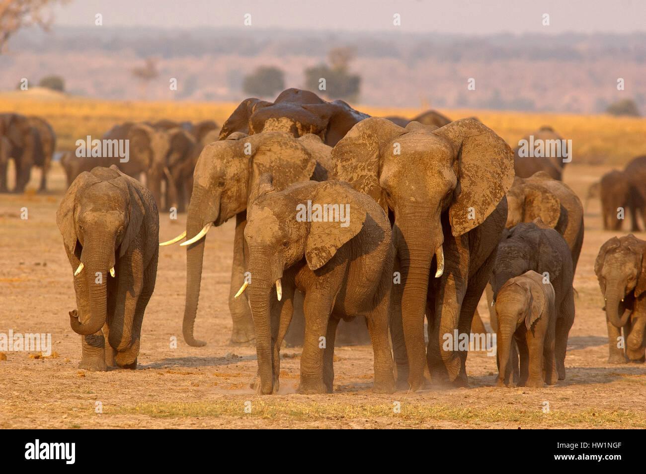 Elephants at Chobe river, Chobe National Park, Botswana - Stock Image