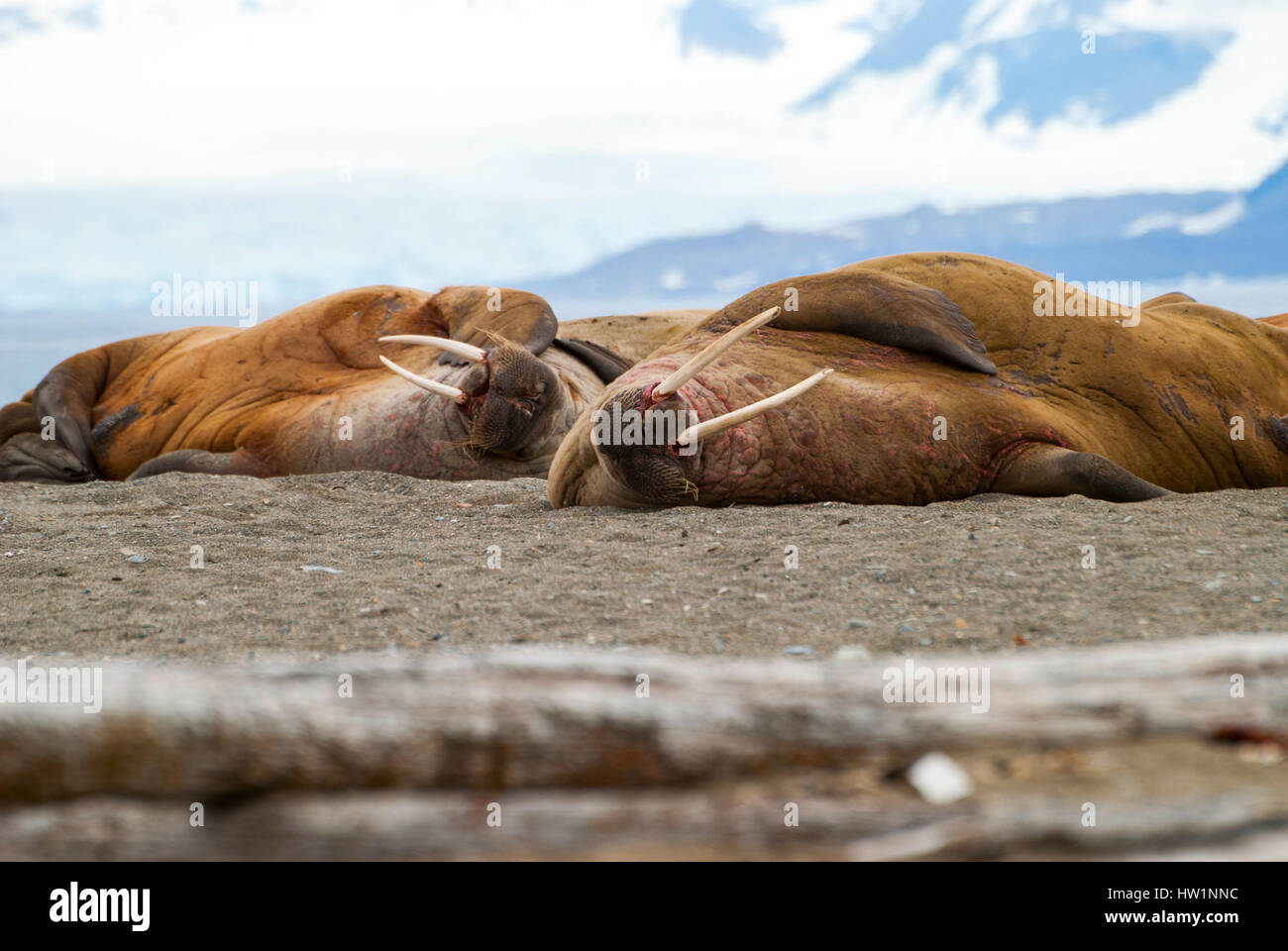 Walruses lying on the shore in Svalbard, Arctic - Stock Image