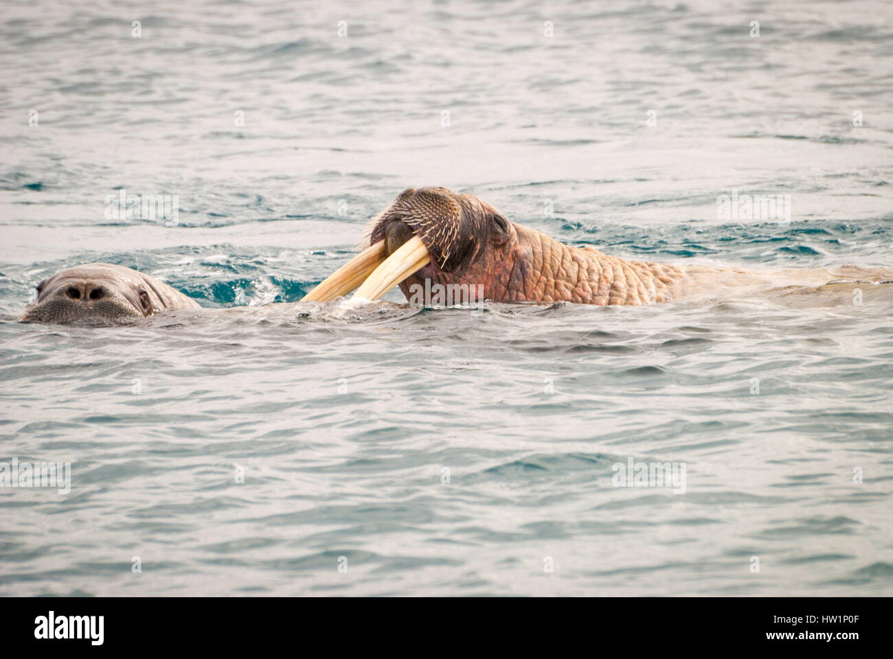 Walruses swimming in the sea Stock Photo