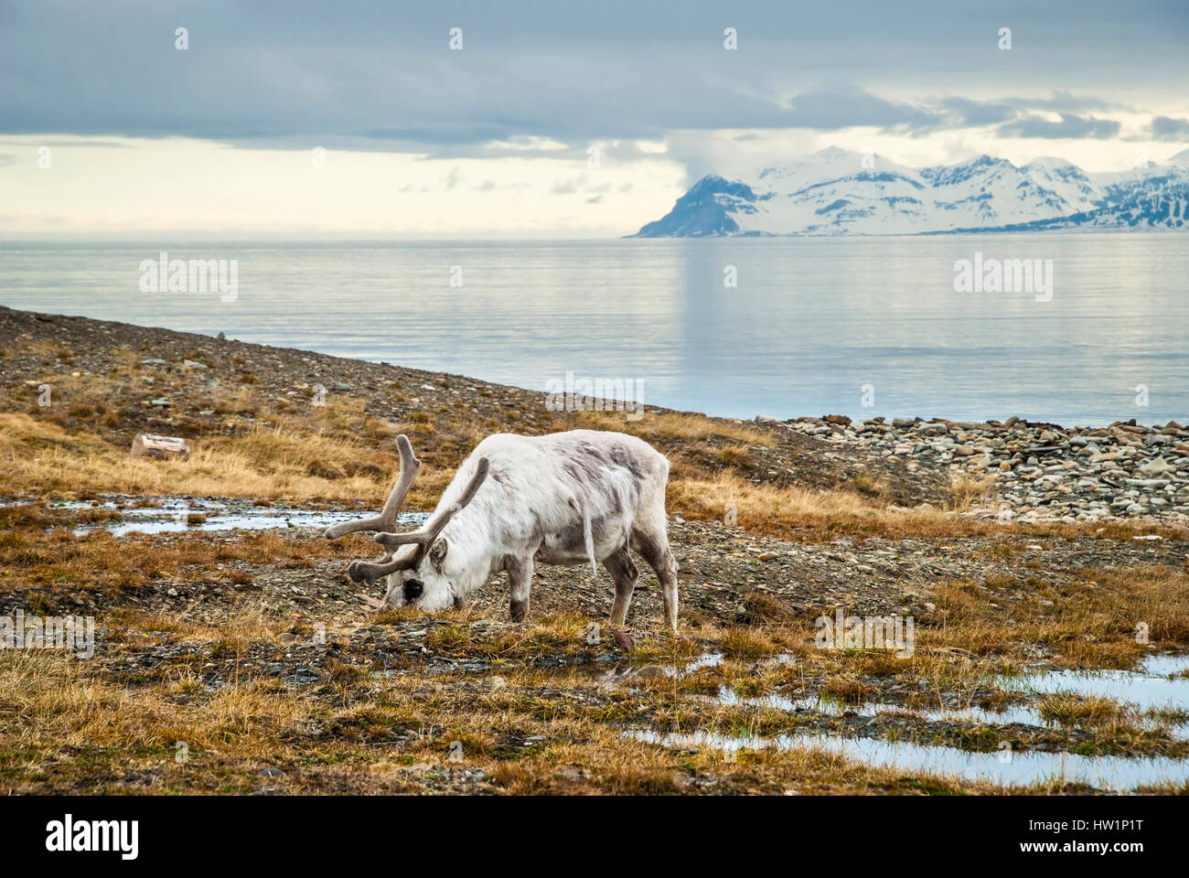Reindeer eating grass infront of the sea and mountains in slow in Svalbard, Arctic Stock Photo