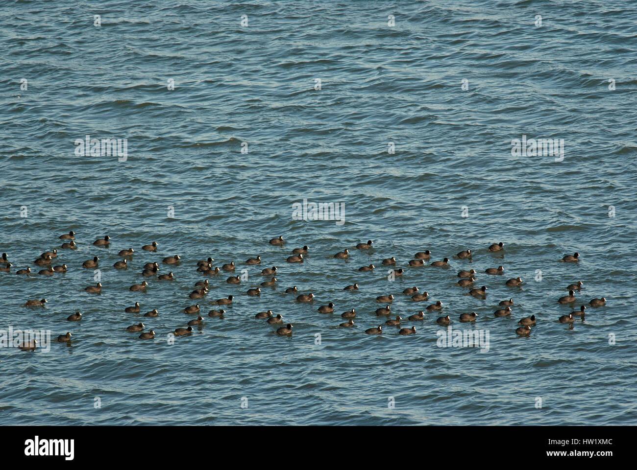 Flock of eurasian coots (Fulica atra), Lake Trasimeno, Umbria, Italy, Europe - Stock Image