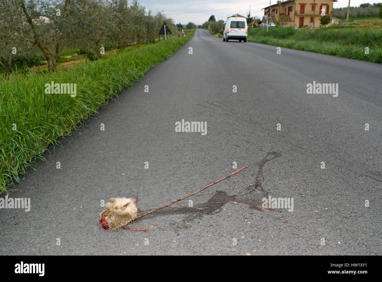 Hedgehog (Erinaceus europaeus) killed on the road, Tuscany, Italy - Stock Image