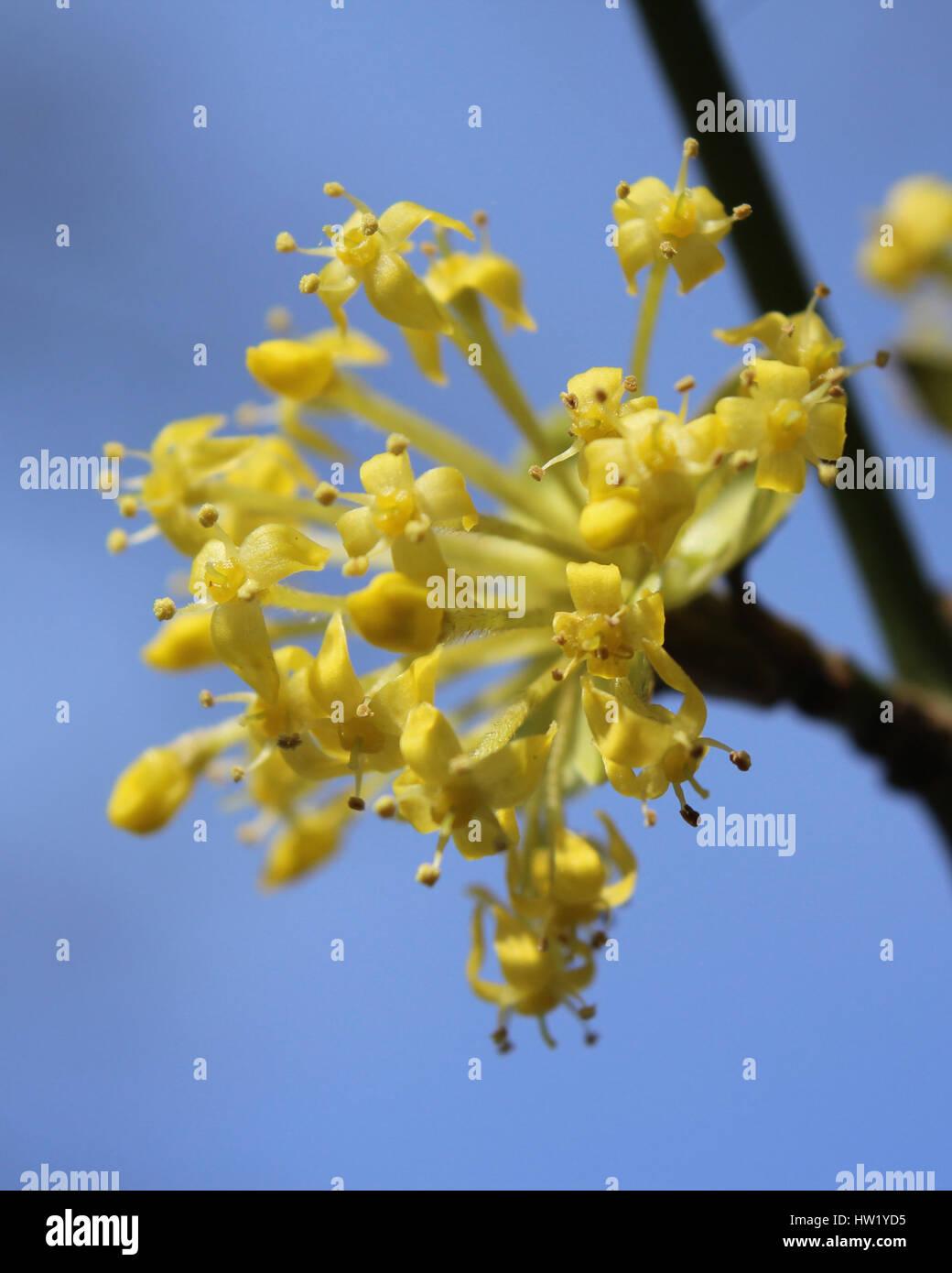 The early bright yellow flowers of Cornus mas also known as Cornelian cherry, European cornel or Cornelian cherry Stock Photo