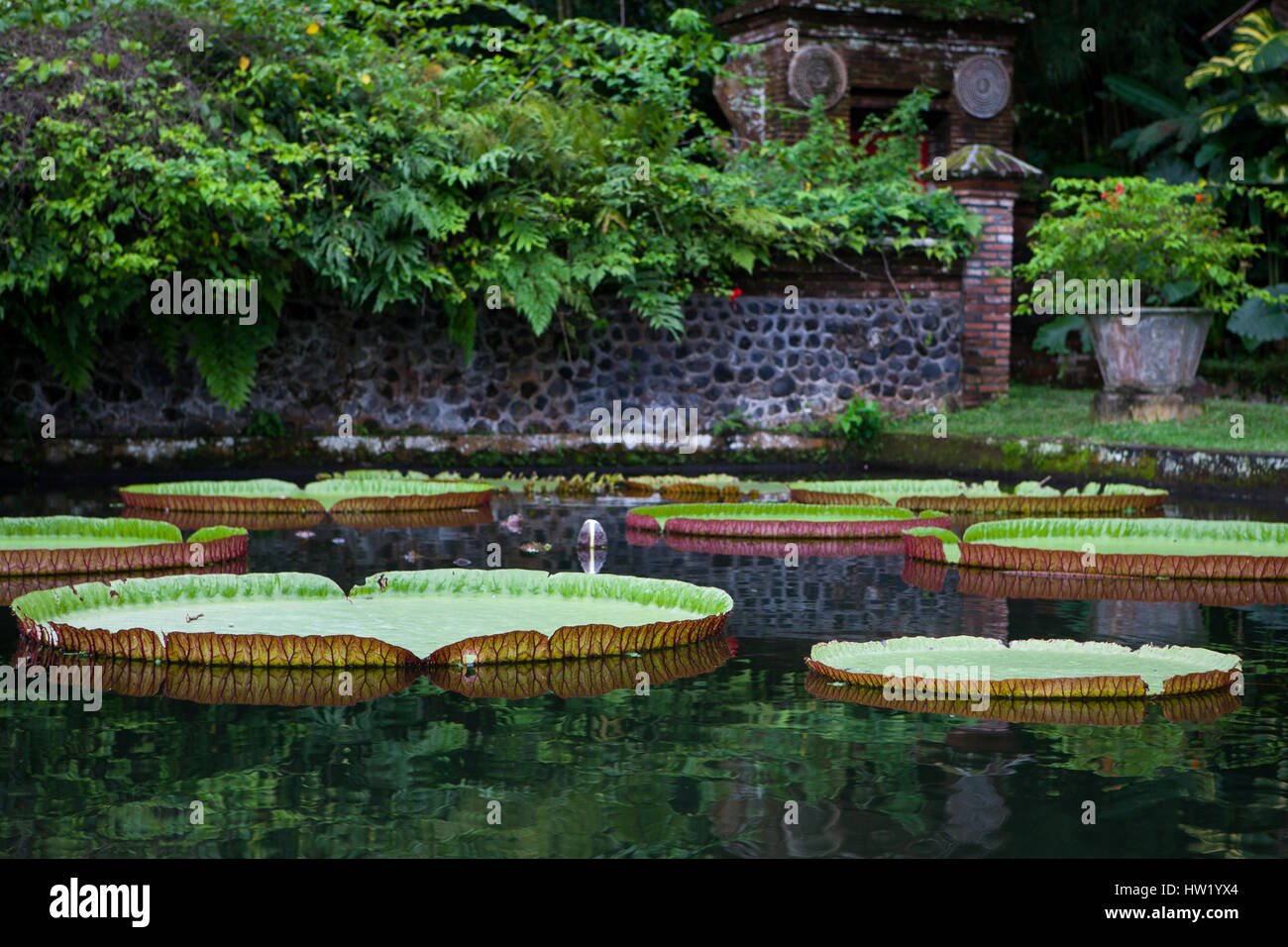 Large Lotus lilies in the pond Stock Photo