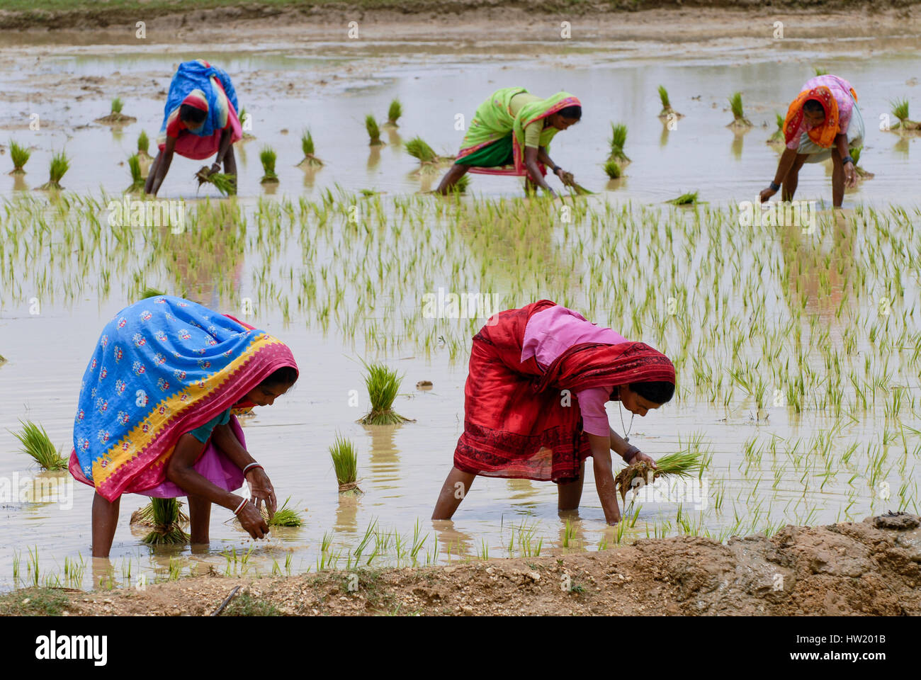 INDIA Westbengal, village Gandhiji Songha , paddy cultivation, replanting of rice seedlings / INDIEN Westbengalen - Stock Image