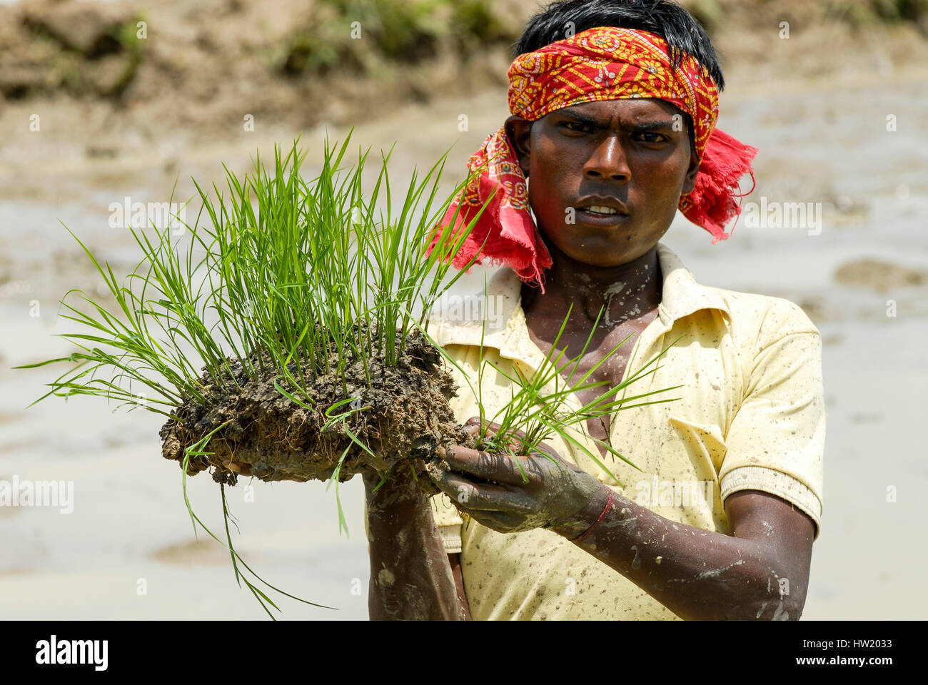 INDIA Westbengal, village Gandhiji Songha , SRI system of rice intensification, paddy cultivation, replanting of Stock Photo