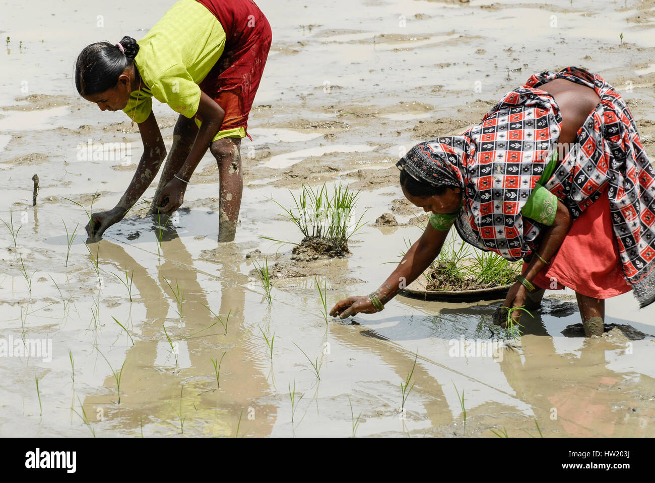 INDIA Westbengal, village Gandhiji Songha , SRI system of rice intensification, paddy cultivation, replanting of - Stock Image