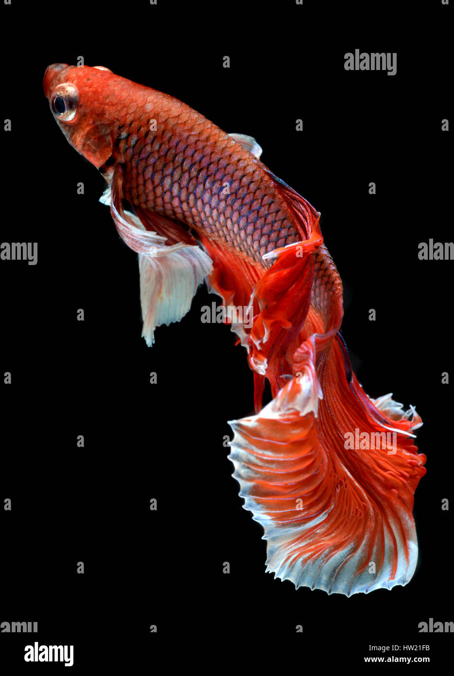 Action of Red haft moon long tail Betta fish or Siamese fighting fish photo in flash studio lighting. Stock Photo