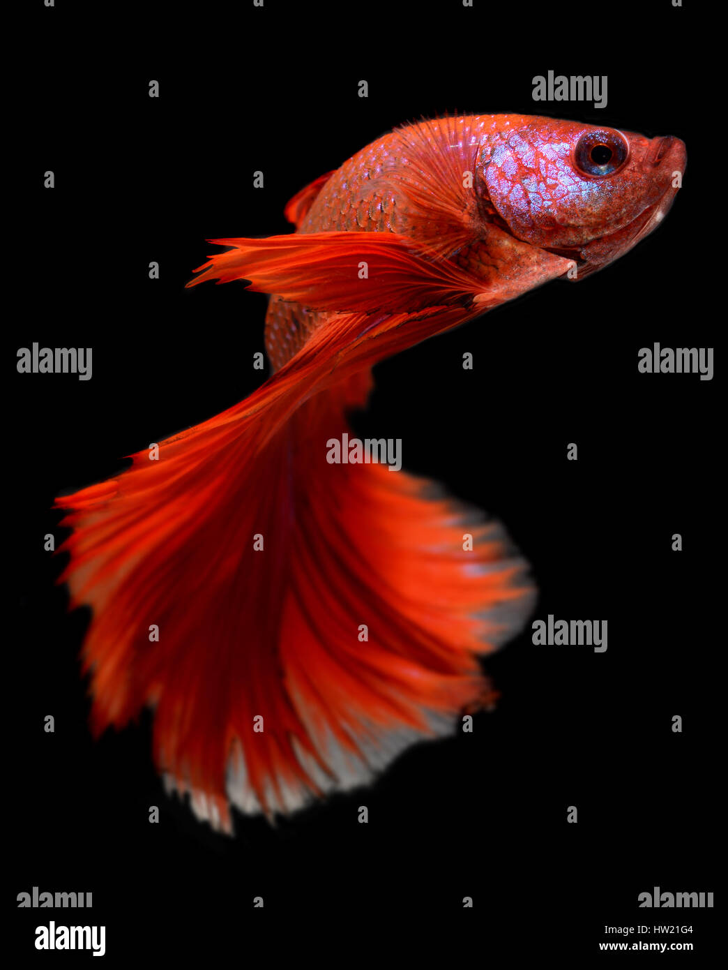 Action of Red haft moon long tail Betta fish or Siamese fighting ...