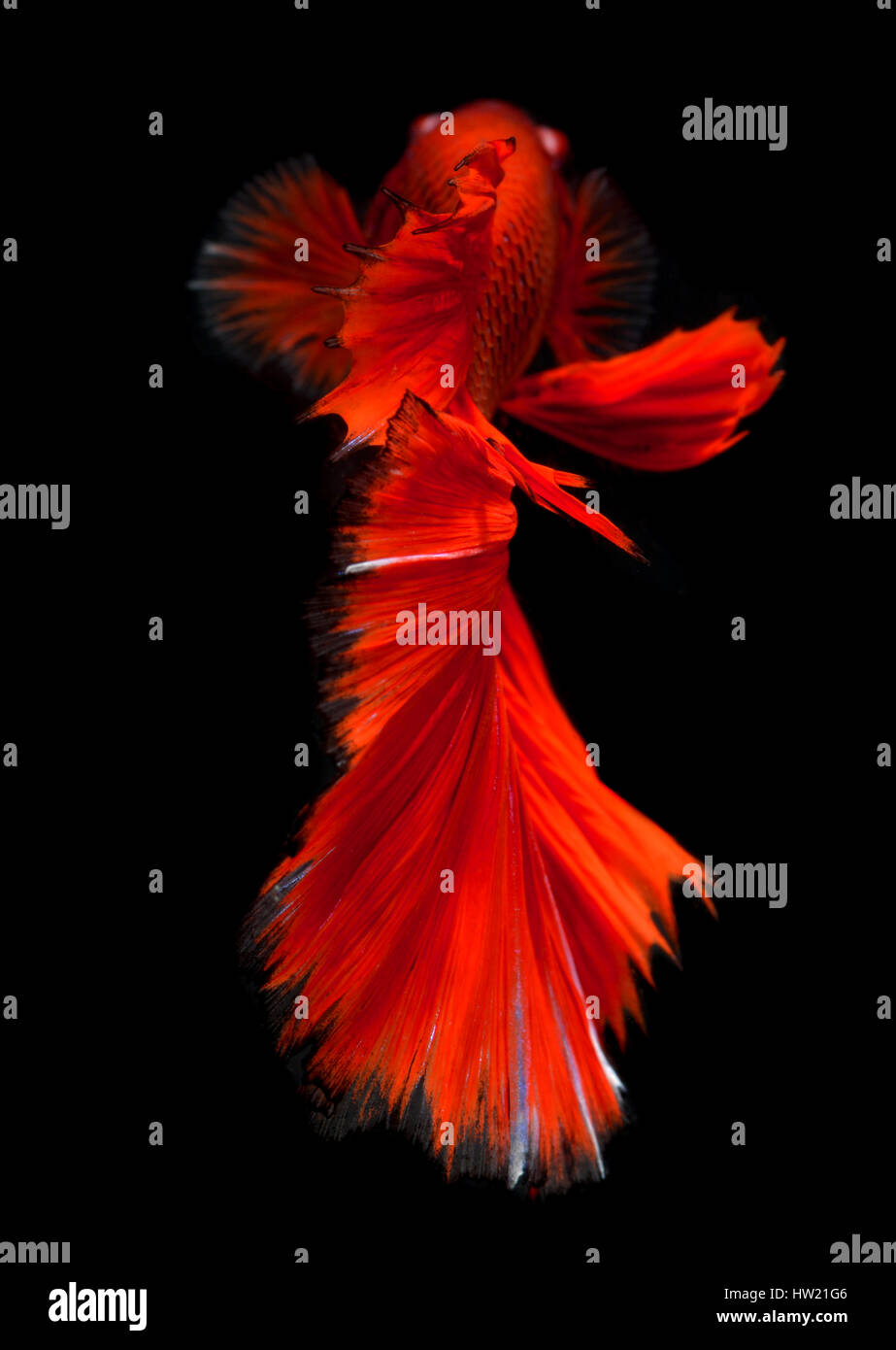 Action of Red haft moon long tail Betta fish or Siamese fighting fish photo in flash studio lighting. - Stock Image