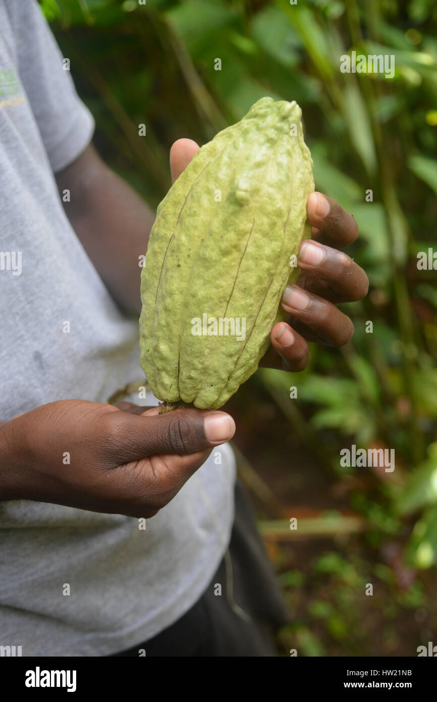 Guide holding a cacoa pod picked from a tree Stock Photo