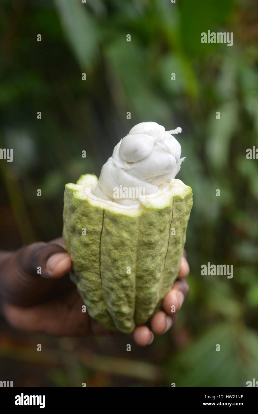 Wet cocoa beans in the cocoa pod Stock Photo
