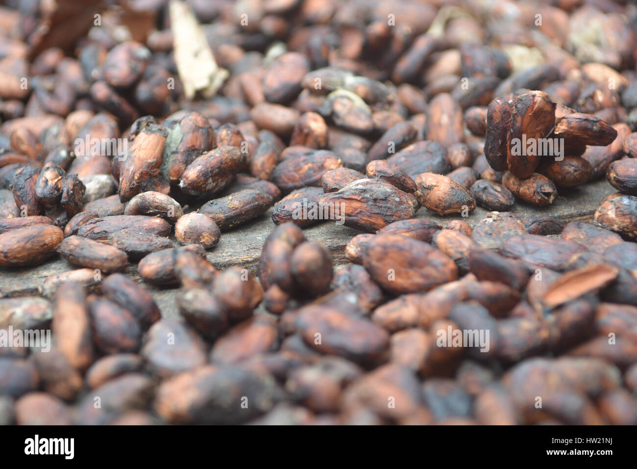 Cocoa beans drying in the sun Stock Photo