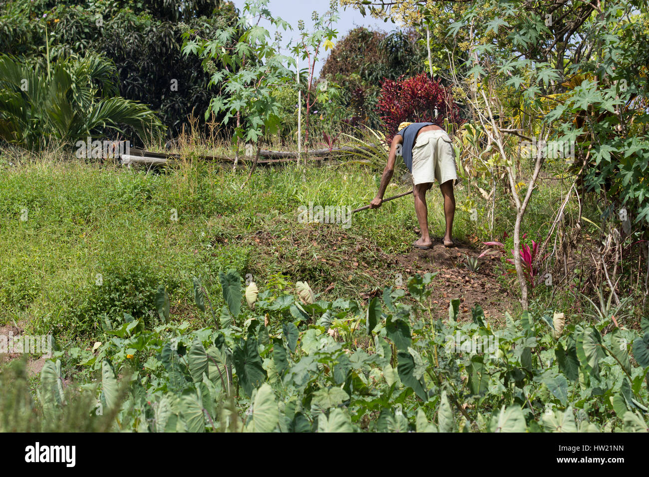 Man working in the farm fields in St. Lucia Stock Photo