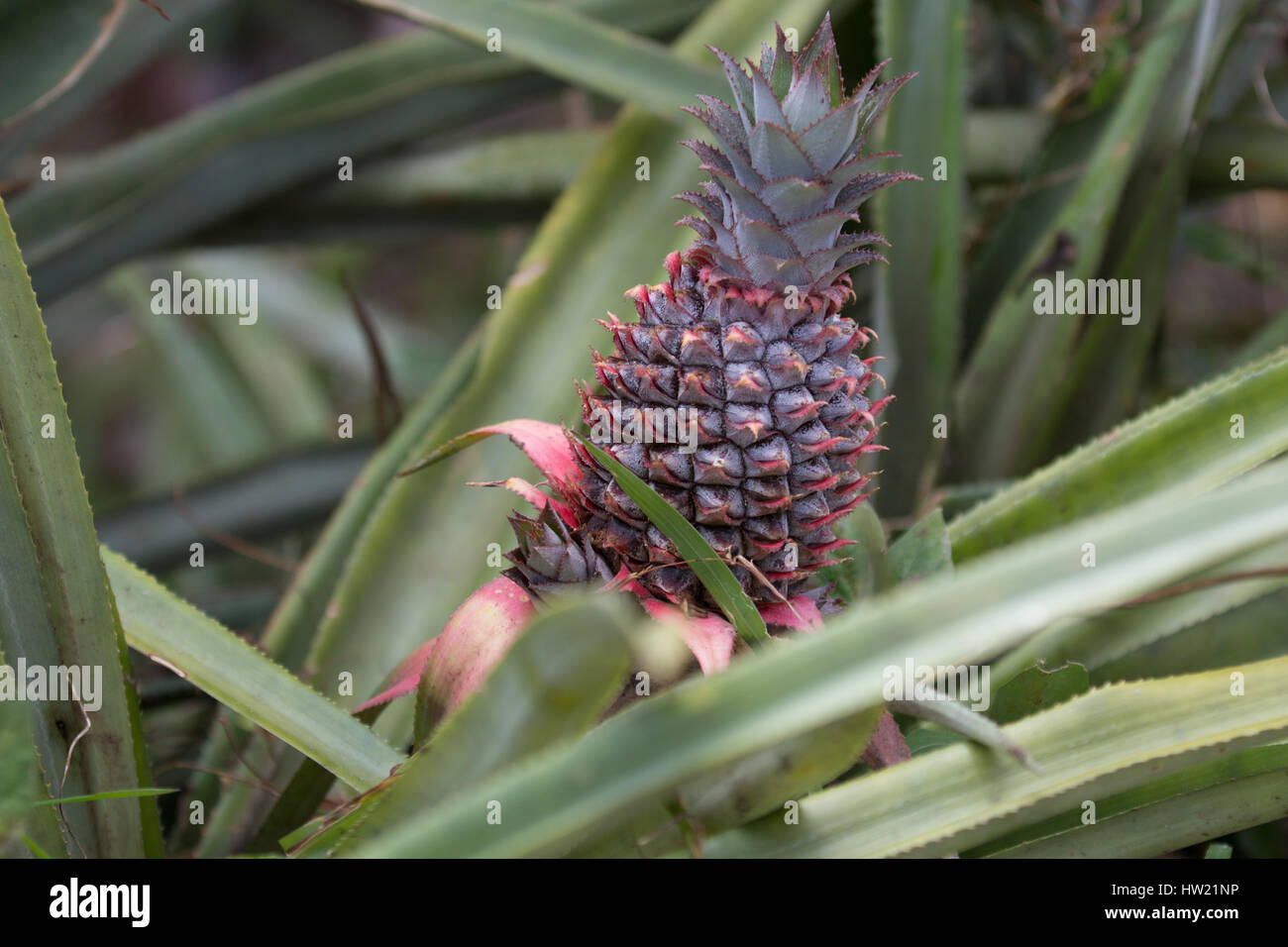 Pineapple growing in St.Lucia Stock Photo