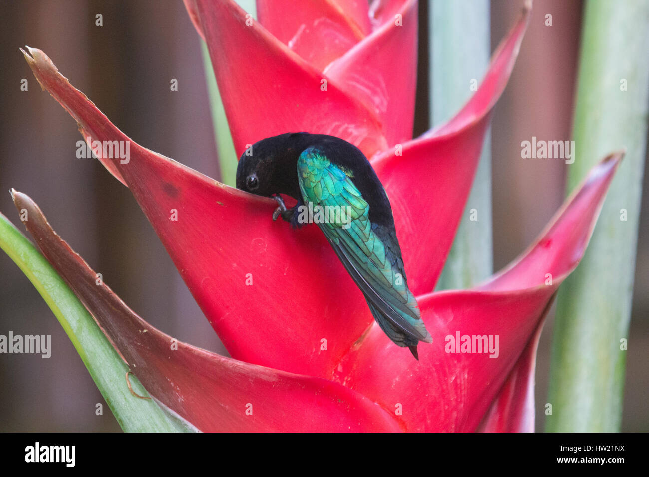 Purple Throated humming bird at flower Stock Photo