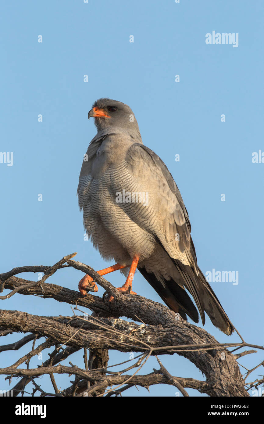 Pale chanting goshawk (Melierax canorus), Kgalagadi Transfrontier Park, South Africa, June 2016 - Stock Image