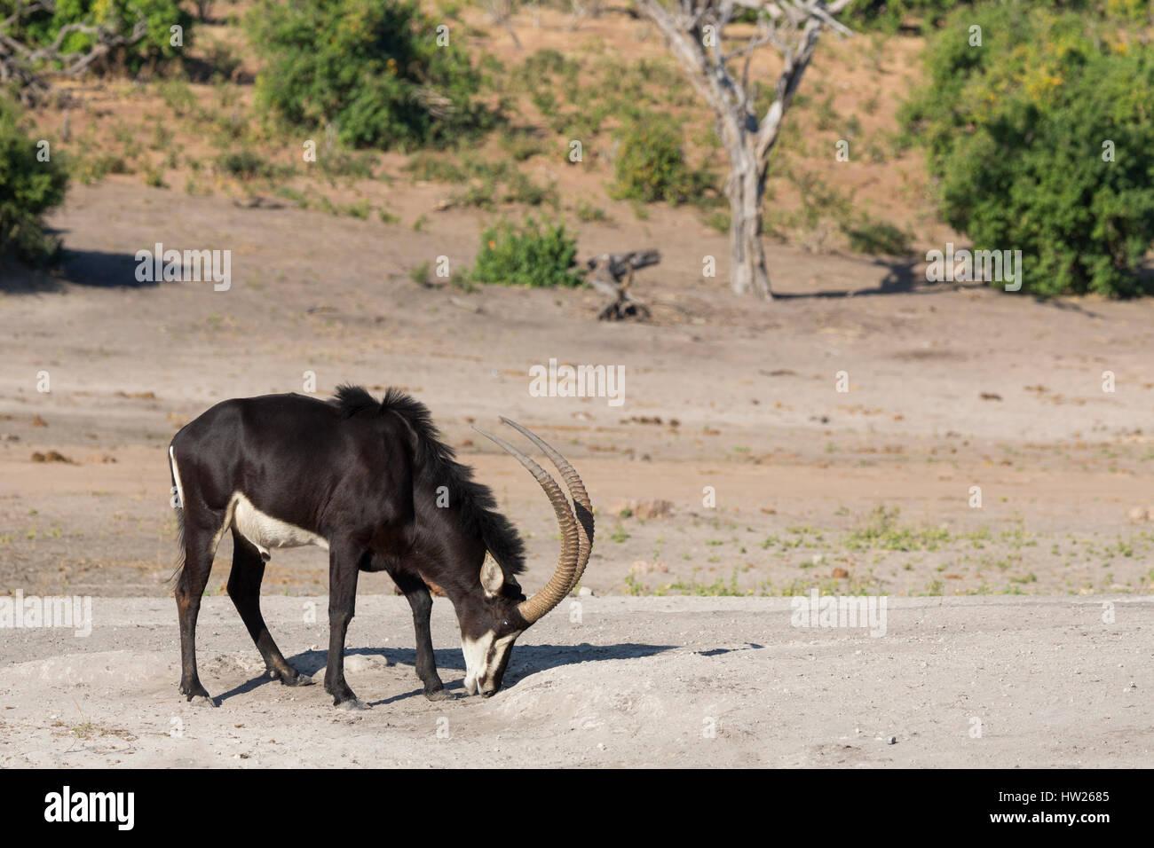 Sable (Hippotragus niger) licking salt, Chobe National Park, Botswana, June 2016 - Stock Image