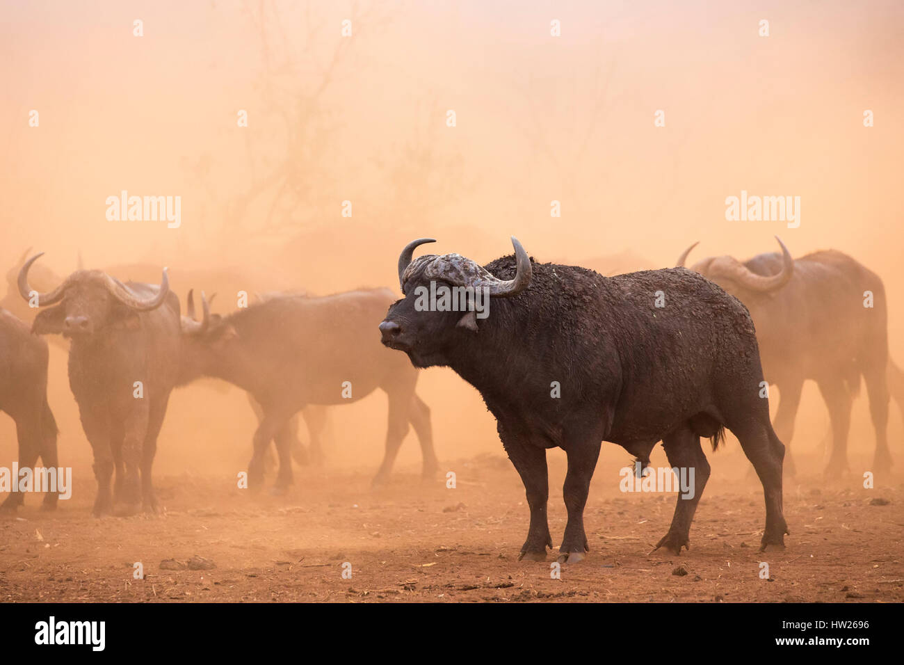 Cape buffalo (Syncerus caffer) herd, Zimanga private game reserve, KwaZulu-Natal, South Africa, September 2016 Stock Photo