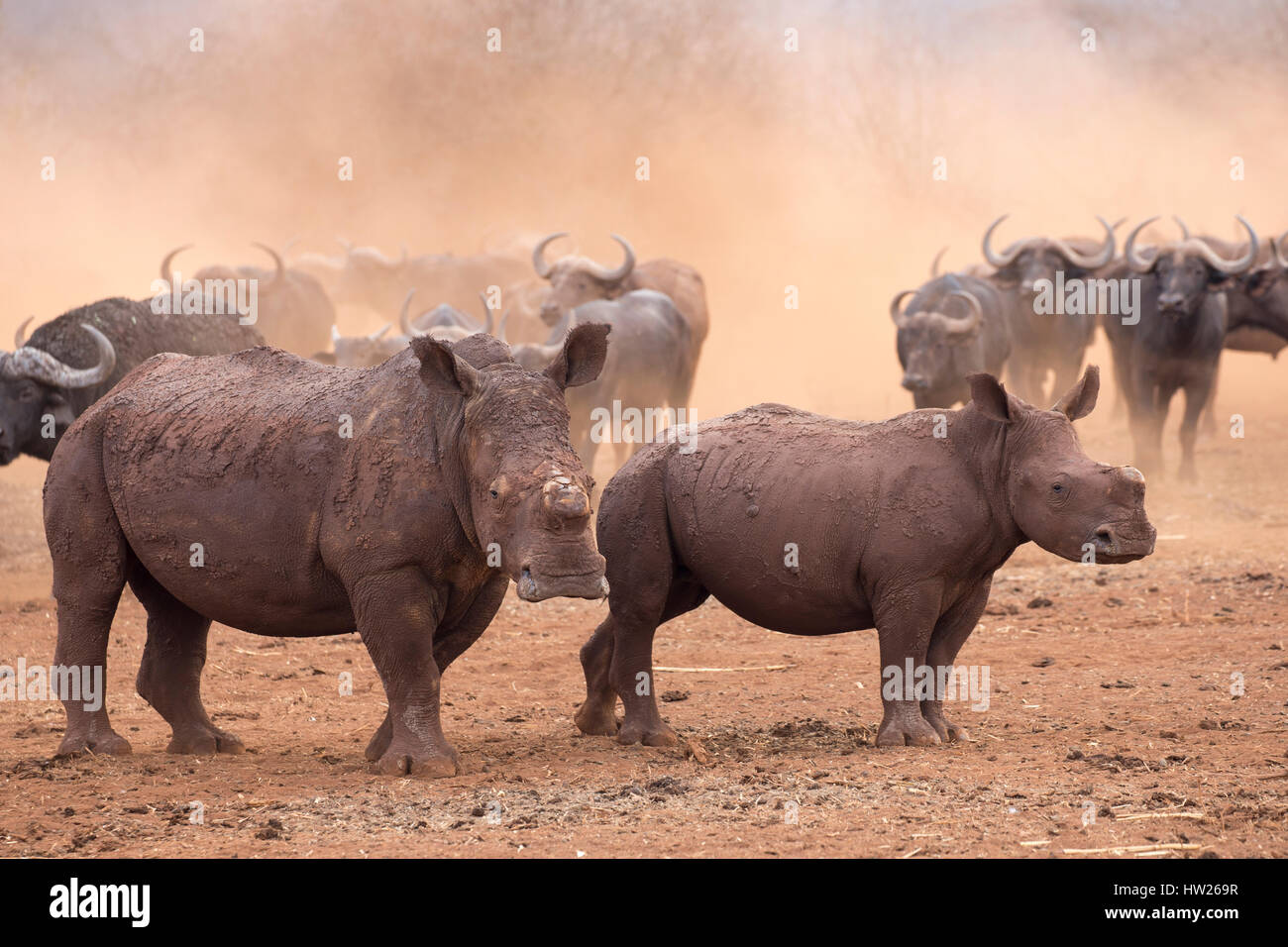 White rhino (Ceratotherium simum) and calf, dehorned, Zimanga private game reserve, KwaZulu Natal, South Africa, - Stock Image