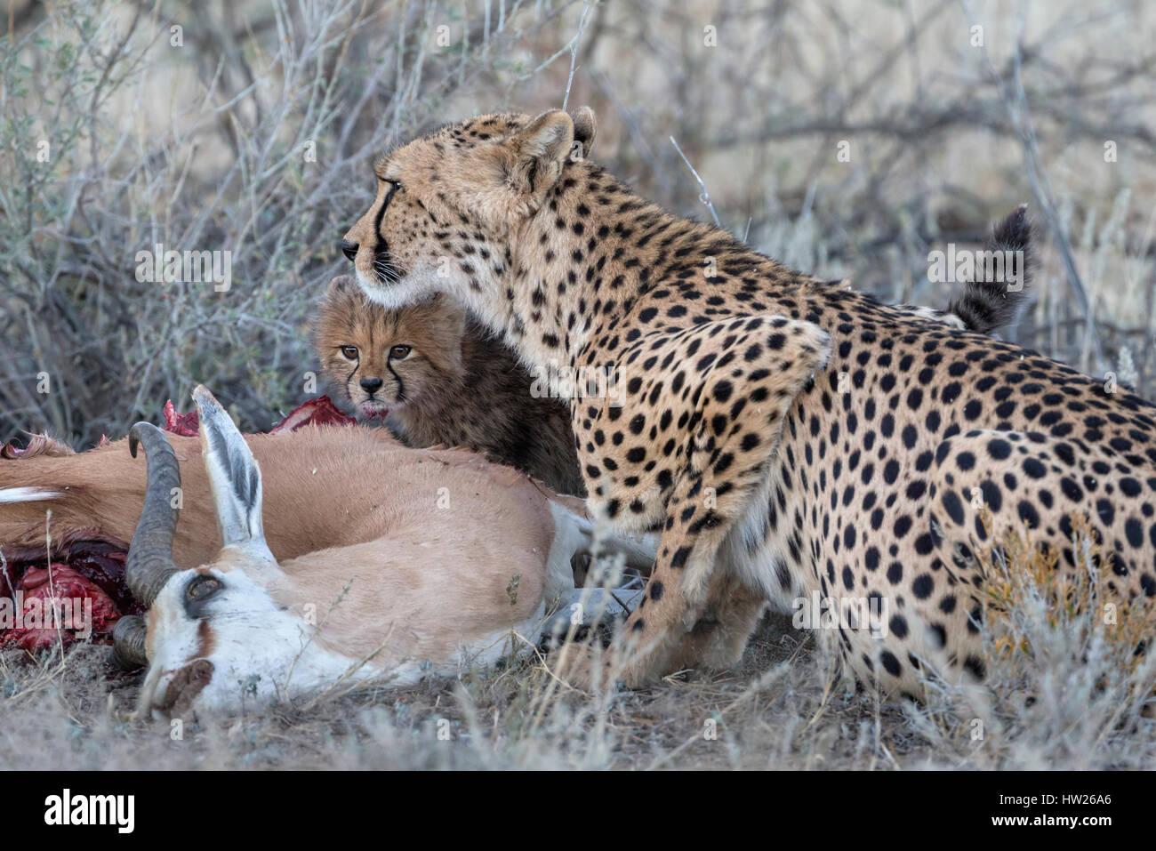 Cheetah (Acinonyx jubatus) with cub on springbok kill, Kgalagadi Transfronter Park, Northern Cape, South Africa, Stock Photo