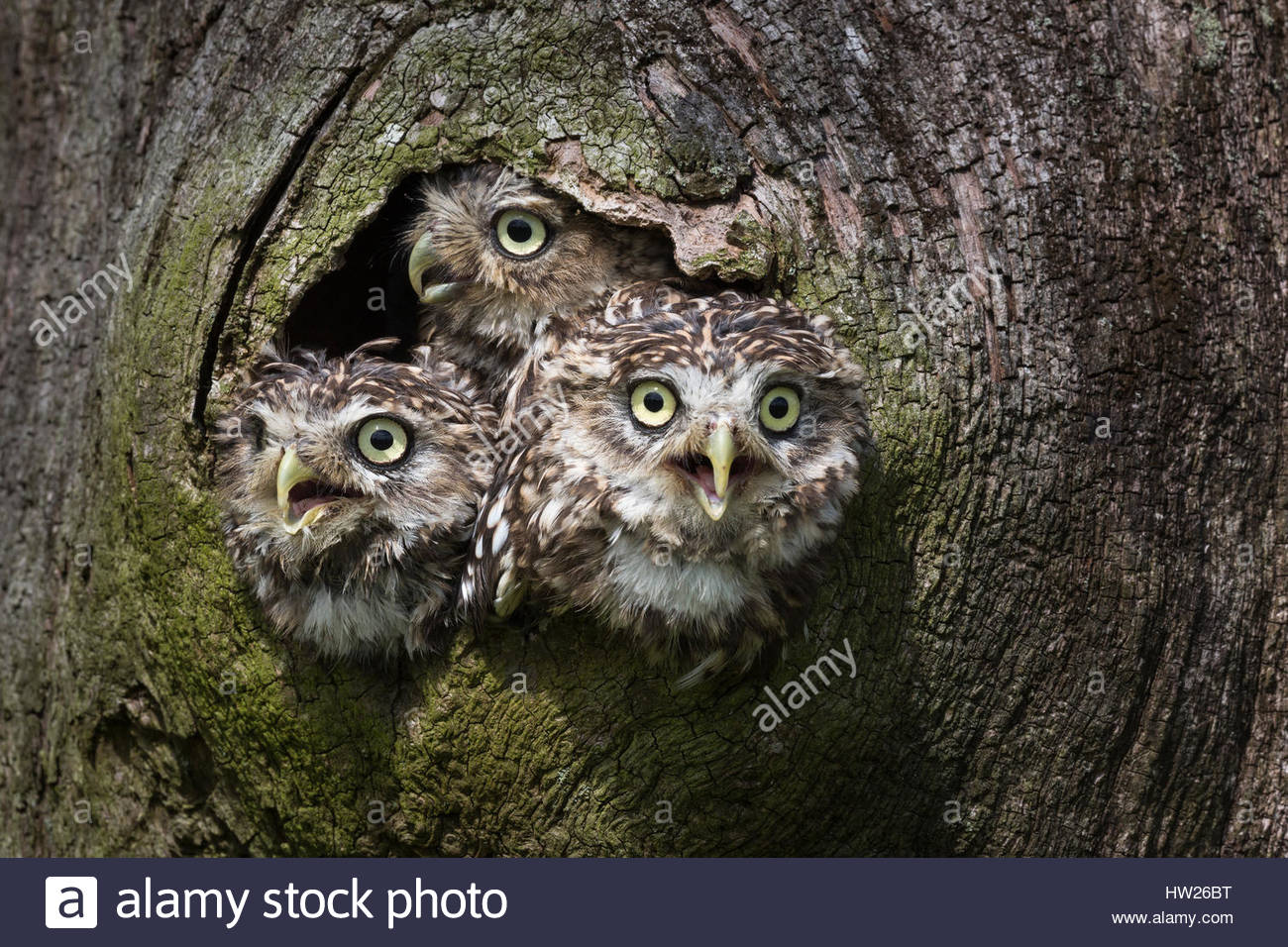 Little owls (Athene noctua), captive, UK, August 2016 - Stock Image