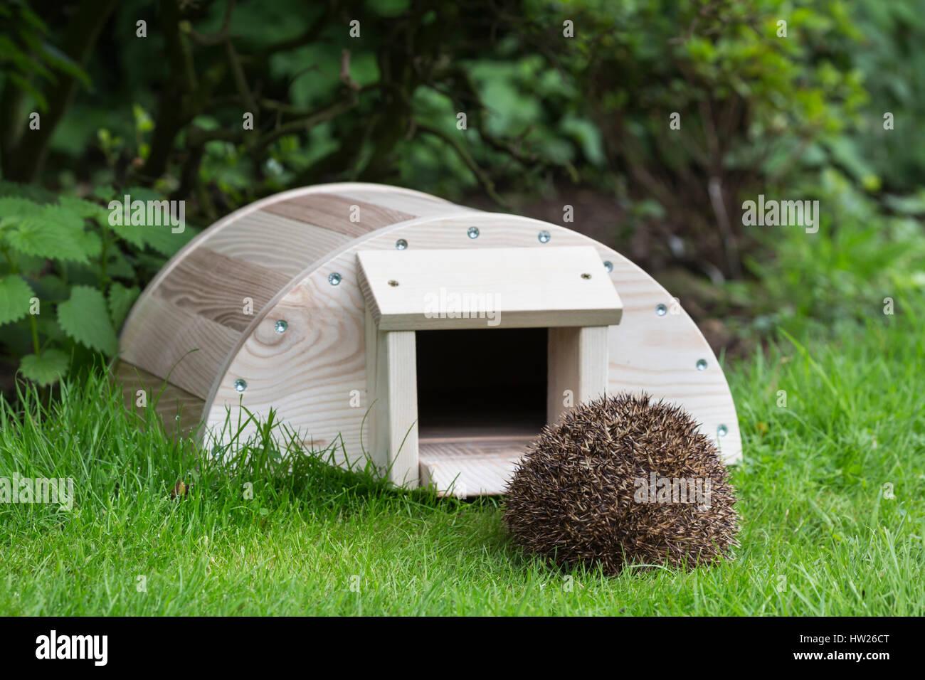 Hedgehog (Erinaceus europaeus) entering hedgehog house, captive, UK, August 2016 Stock Photo