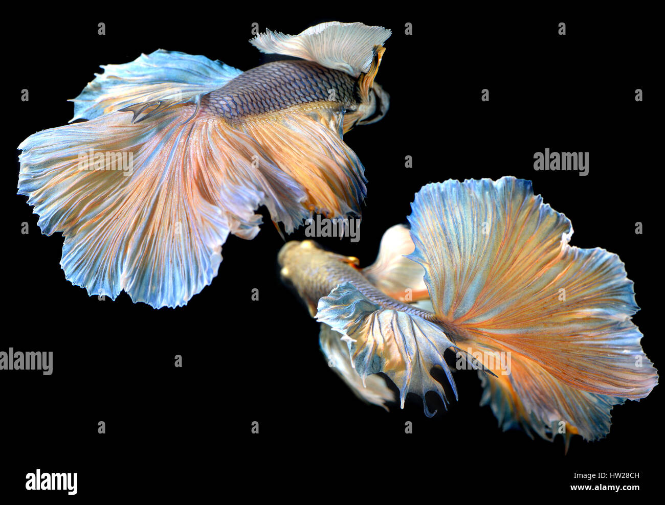 Betta fish in freedom action and show the beautiful fins for Show betta fish