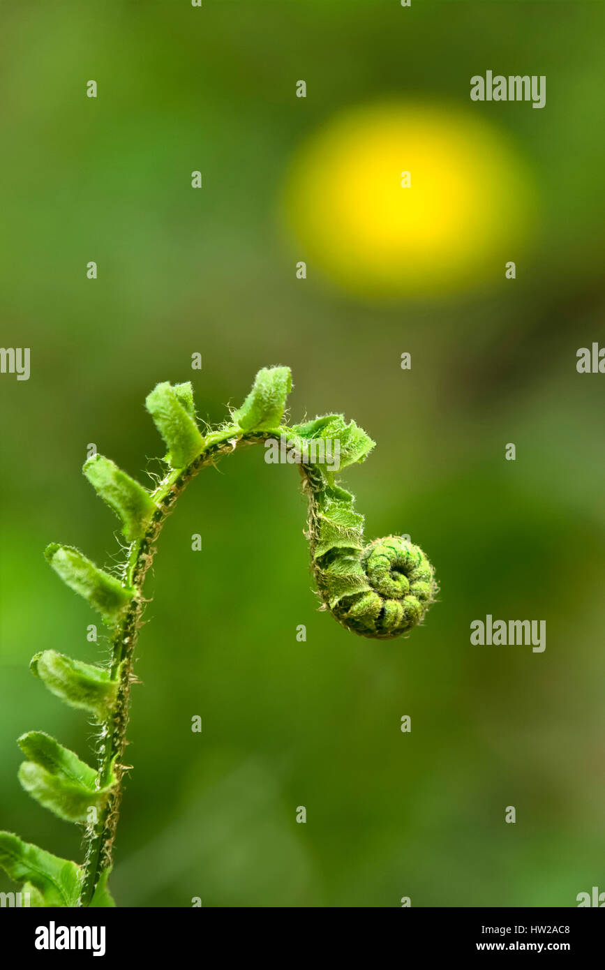New growth in spring fern leaf (frond) unfurling. - Stock Image