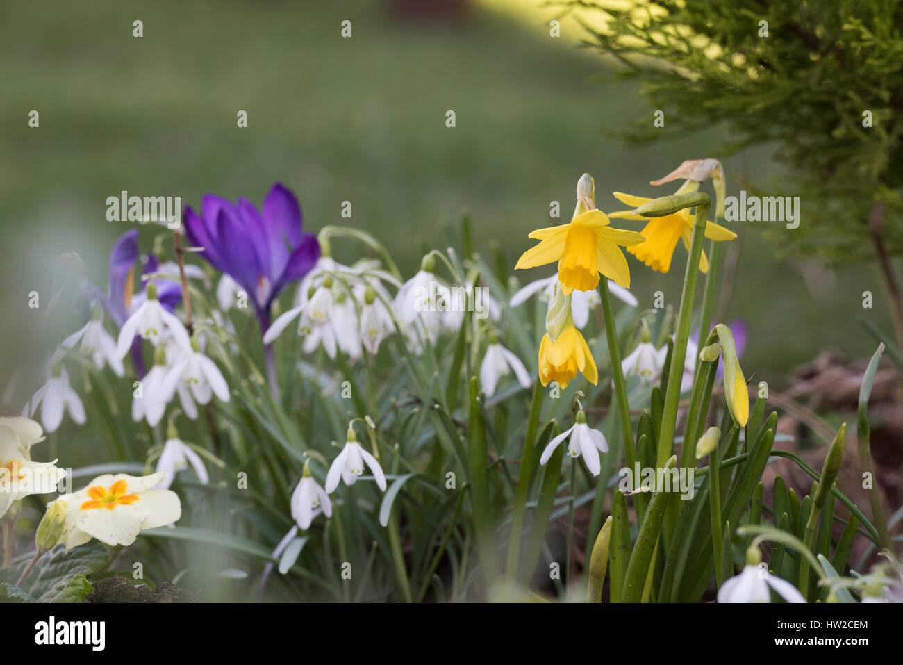 Spring flowers in a garden border in early march daffodils spring flowers in a garden border in early march daffodils crocuses and snowdrops uk mightylinksfo