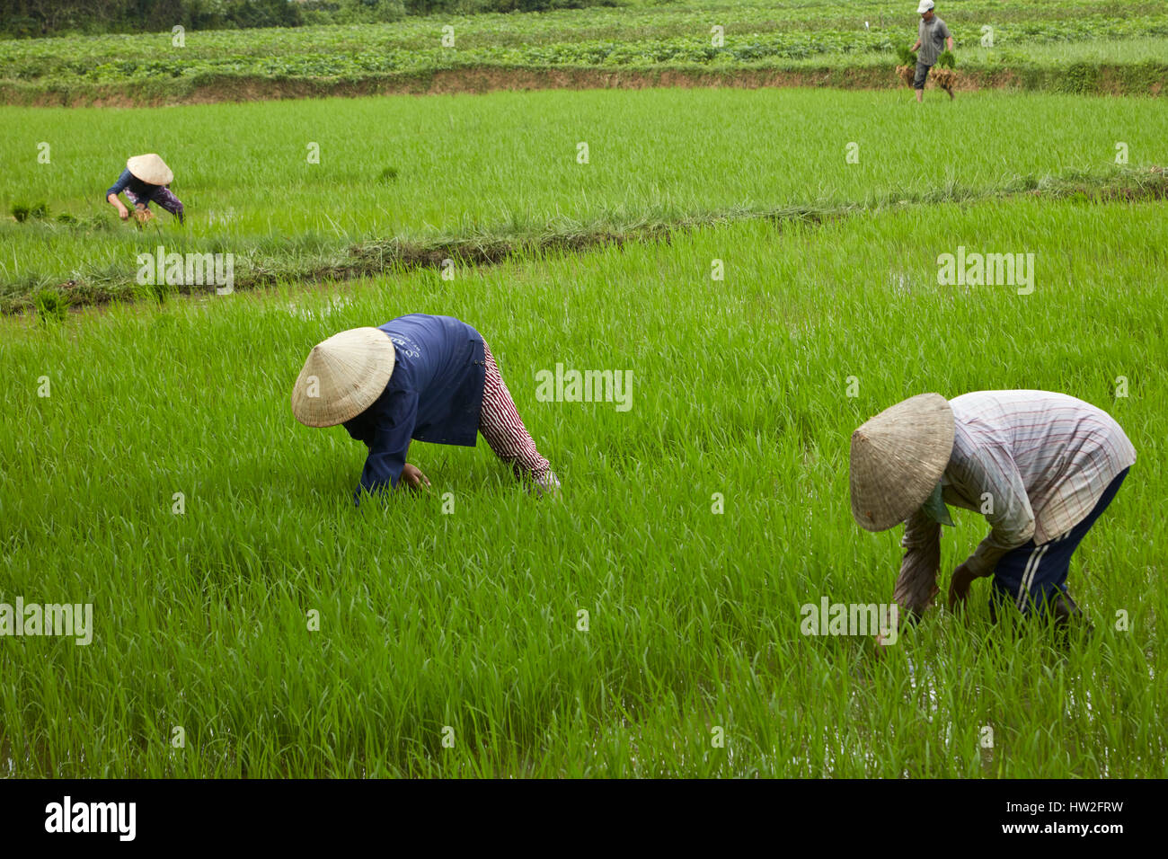 Workers in rice field, Cam Kim Island, Hoi An, Vietnam - Stock Image