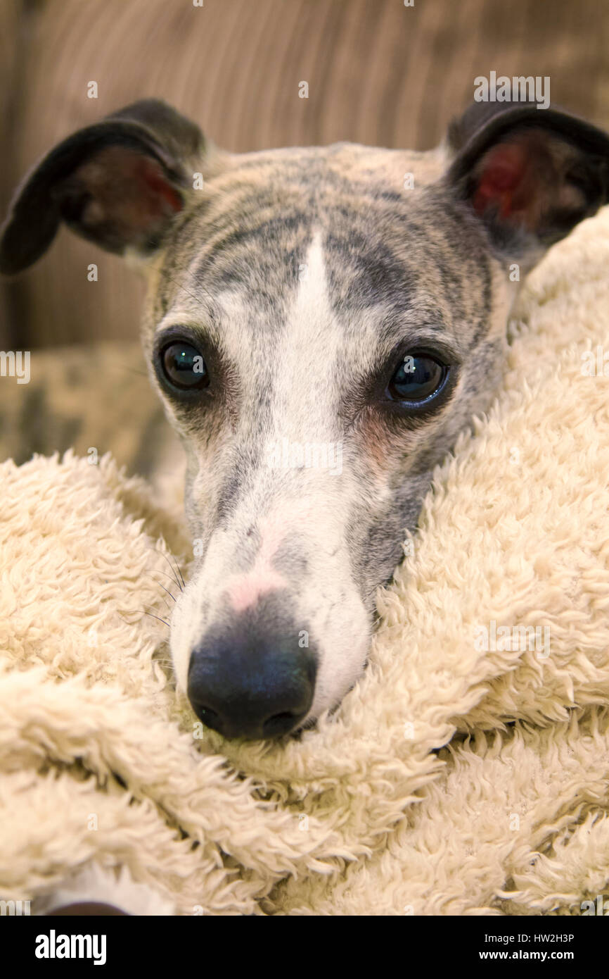 Male brindle whippet. - Stock Image