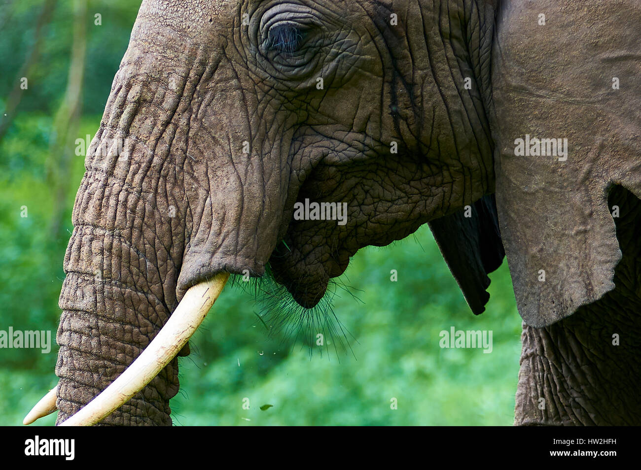 Elephant having a close look at the photographer - Stock Image