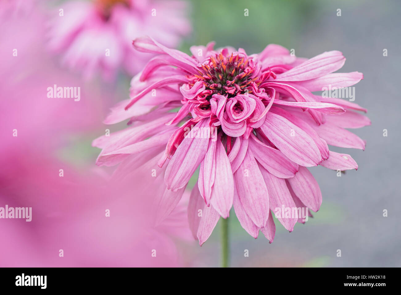The beautiful Echinacea purpurea 'Pink Poodle' double-flowered purple Coneflower. - Stock Image