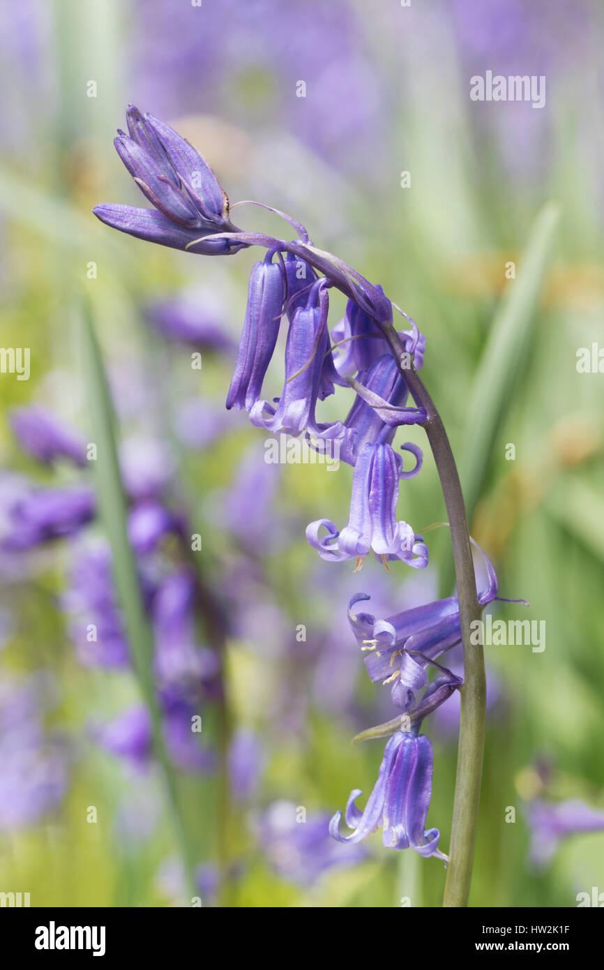Bluebells in spring (Hyacinthoides non-scripta). - Stock Image