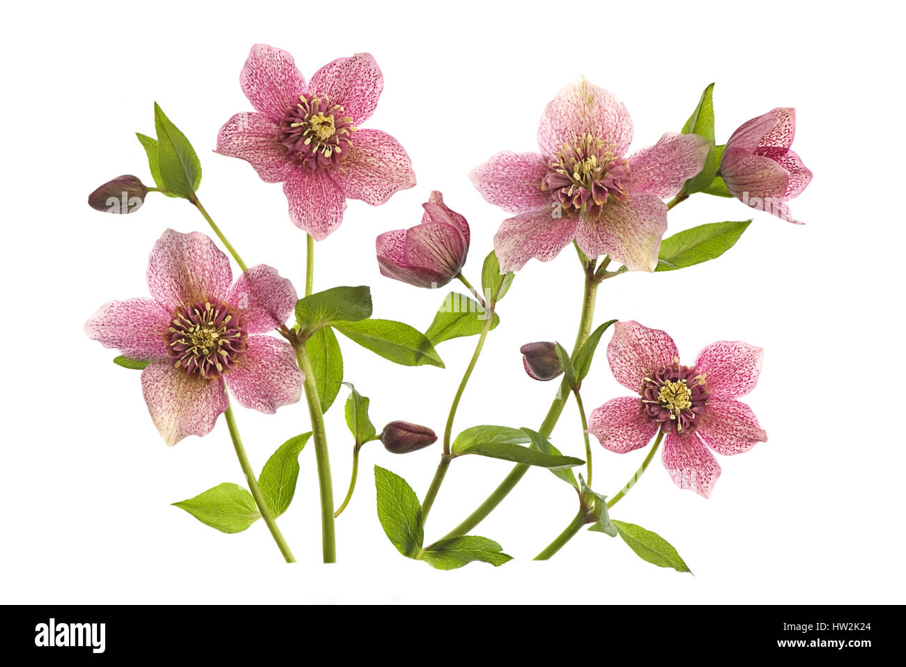 High key image of the beautiful spring flowers of helleborus tutu high key image of the beautiful spring flowers of helleborus tutu also known as the lenten rose taken against a white background izmirmasajfo