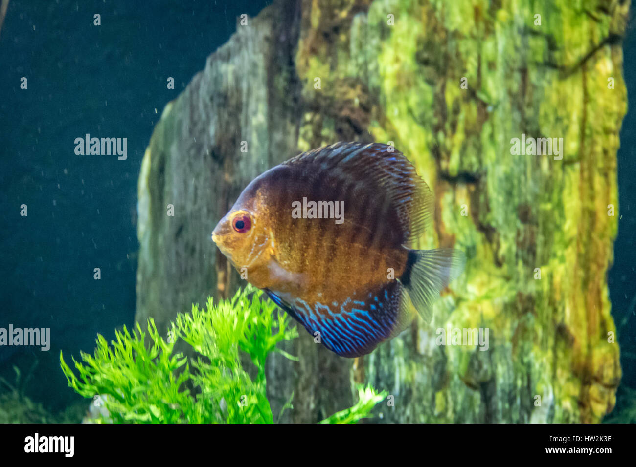 Orange and blue discus fish (Symphysodon aequifasciatus Stock Photo ...