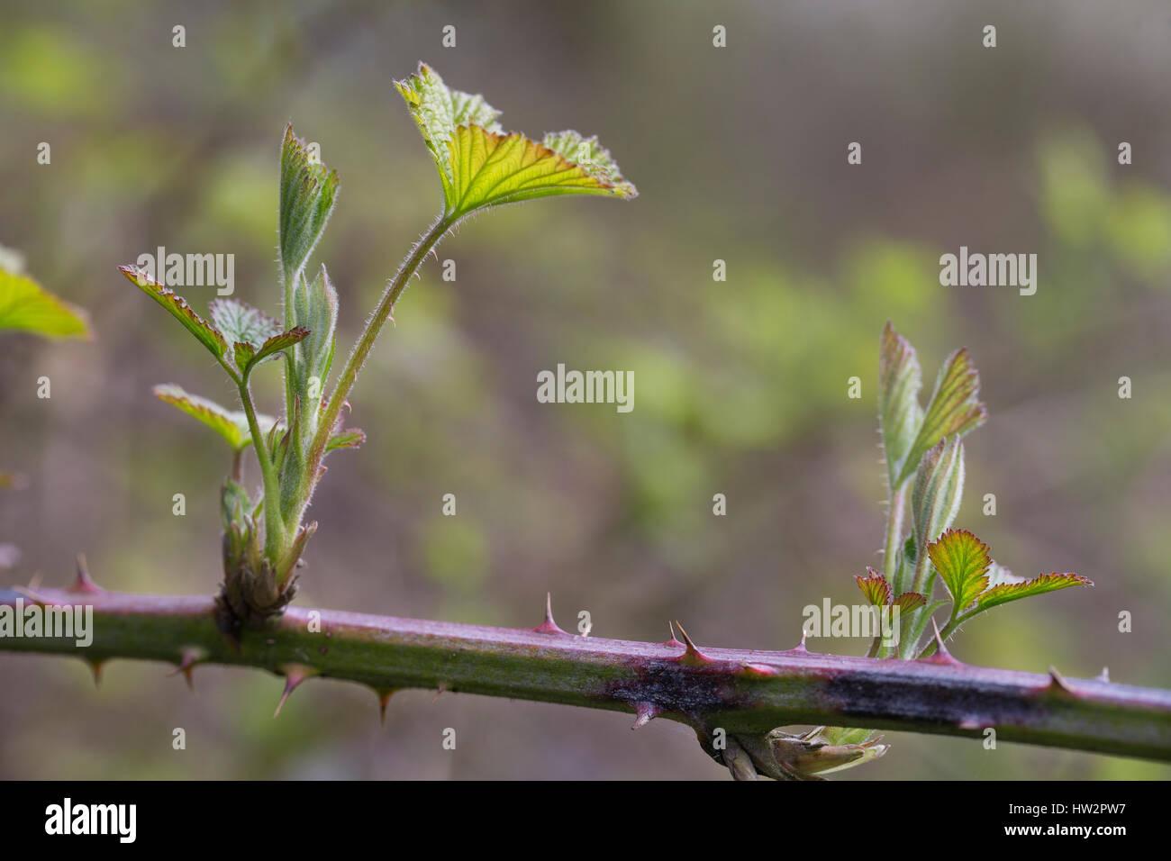 Brombeer-Blätter, Brombeerblätter, junge Blätter, Blattaustrieb, Brombeere, Echte Brombeere, Blatt, - Stock Image