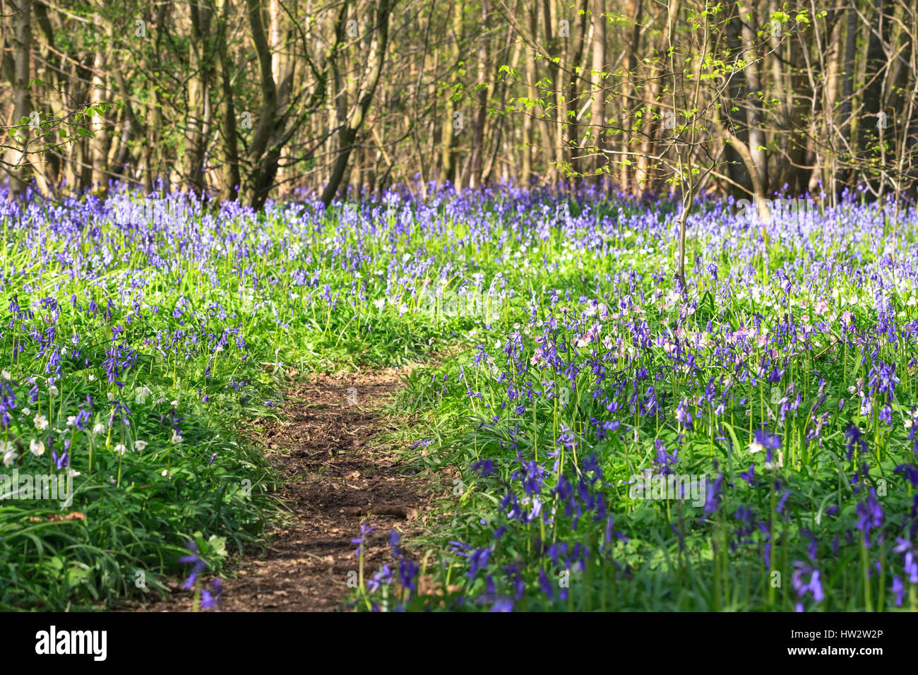 Carpet of English Bluebells Hyacinthoides non-scripta (Endymion non-scriptus) with path in the Ham Street Woods National Nature Reserve, Hamstreet, uk Stock Photo