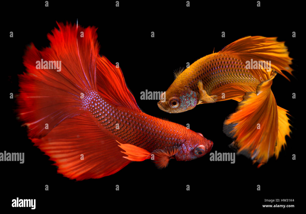Betta fish in freedom action and show the beautiful fins tail photo in flash lighting. - Stock Image