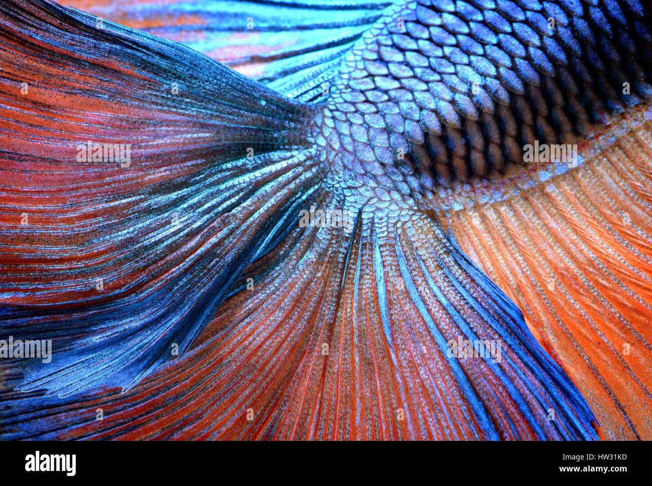 Betta fish in freedom action and show the detail of beautiful fins tail photo in flash lighting. - Stock Image