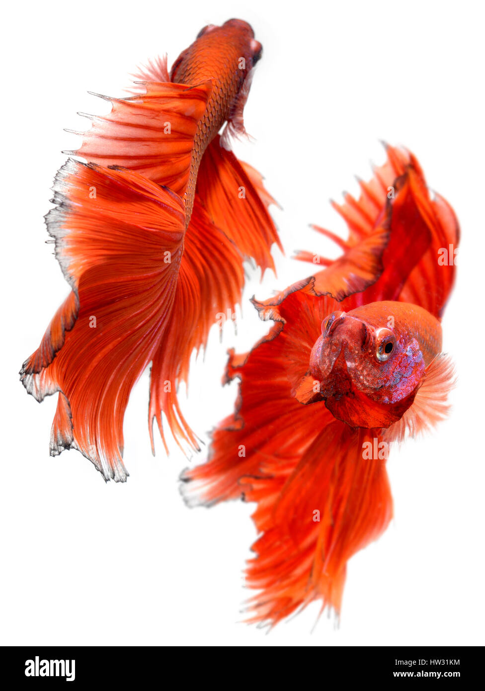 Betta fish in freedom action and show the beautiful fins tail photo ...